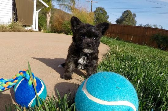 TINY male Morkie designer puppy! - 9 week old Morkie