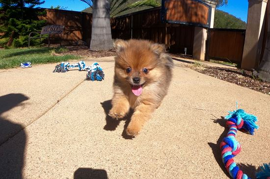 PERFECT male Pomeranian puppy! - 13 week old Pomeranian