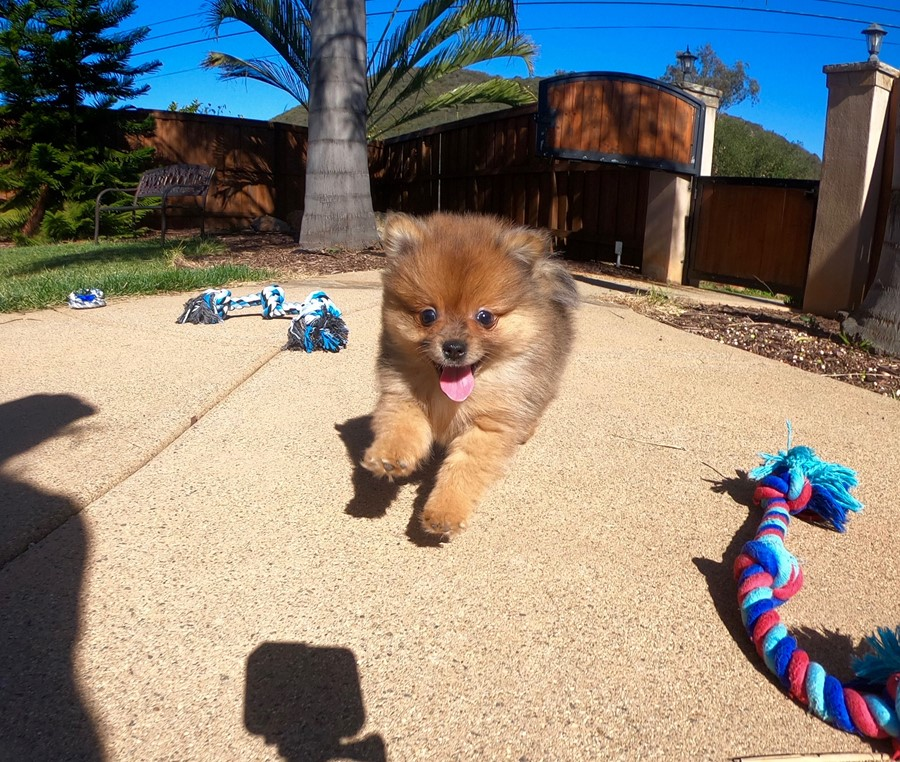PERFECT male Pomeranian puppy! 1