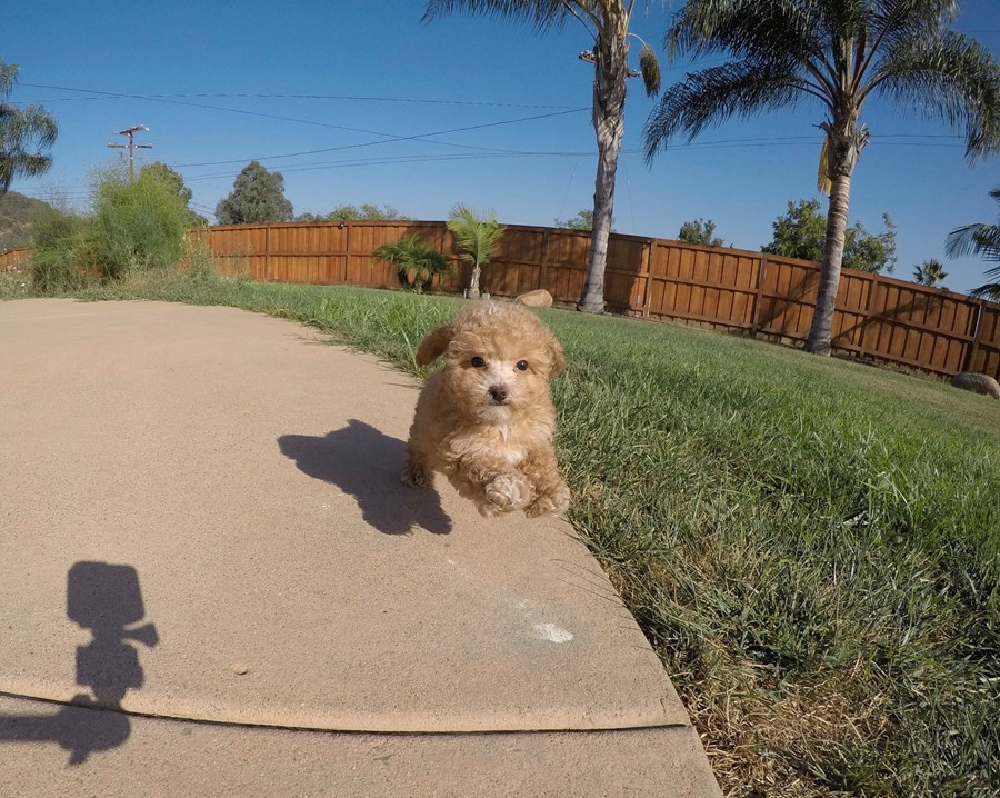 Tiny Male CavaPoo Puppy !! 5