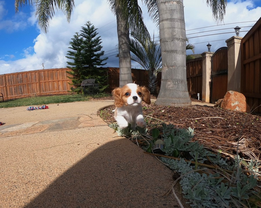 PERFECT male AKC Cavalier puppy!!! 9