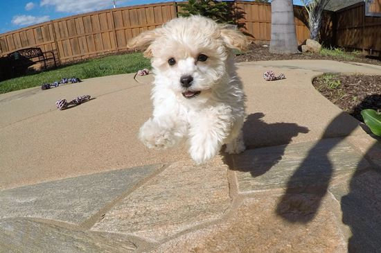 Super cute female MaltiPoo puppy! - 11 week old malti poo