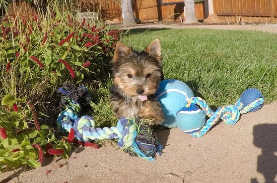 PERFECT Male AKC Yorkie Puppy!! - 13 week old Yorkshire Terrier