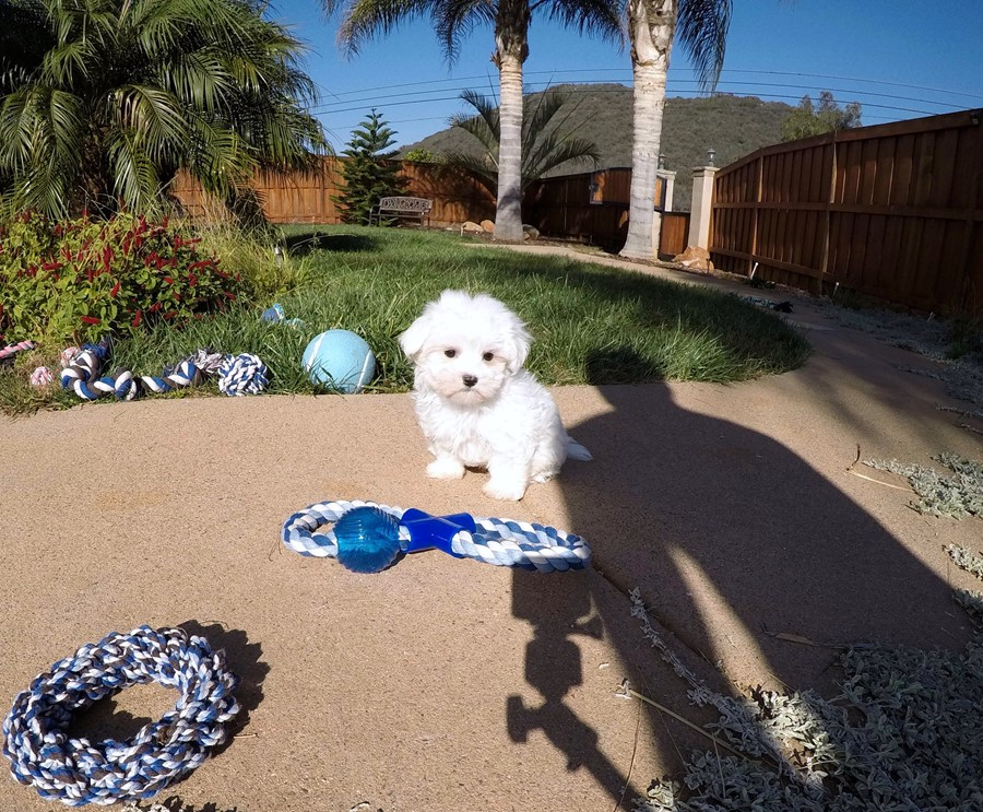 PERFECT Male ACA  Maltese puppy!! 5