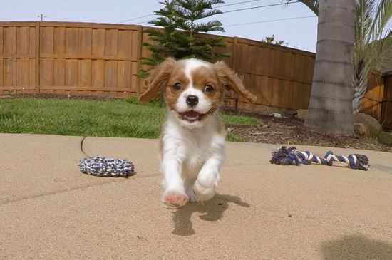 Cute male ACA Cavalier puppy!!! - 10 week old Cavalier King Charles Spaniel