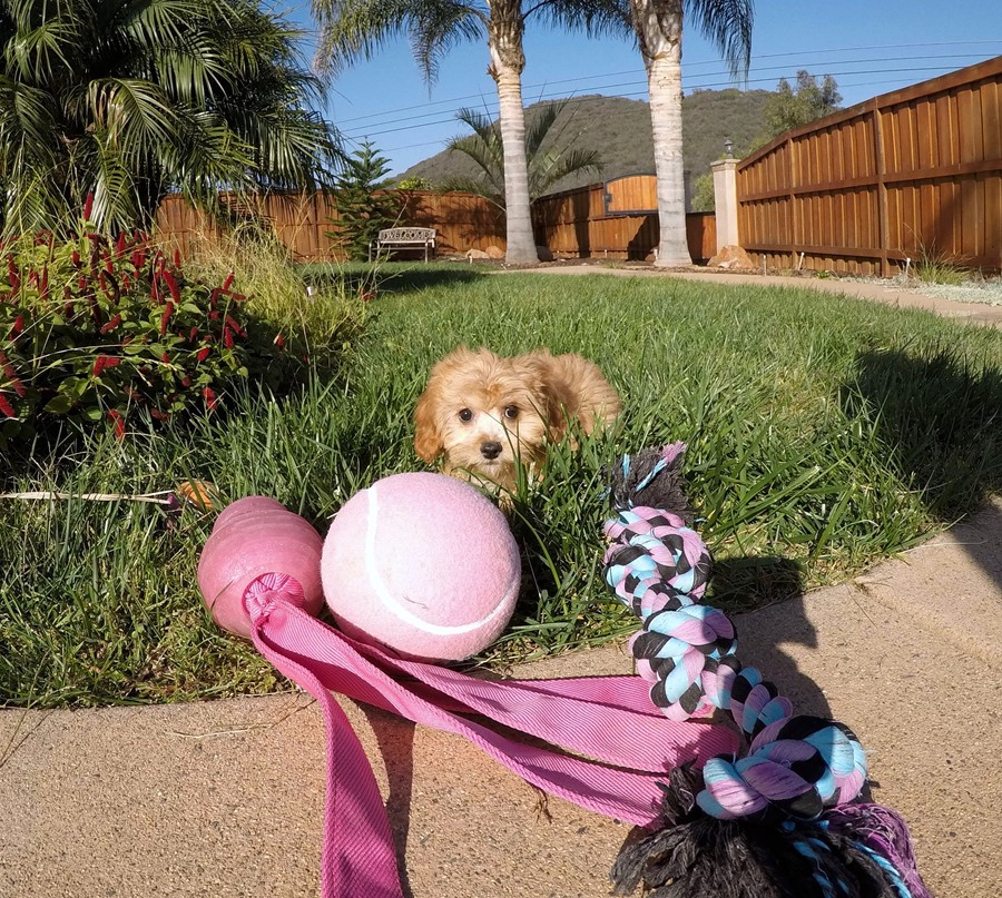 Super Cute Female CavaPoo Puppy! 3