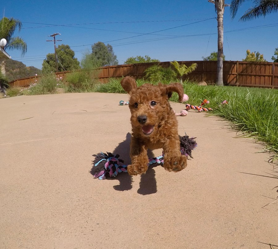 PERFECT Mini GoldenDoodle puppy! 24