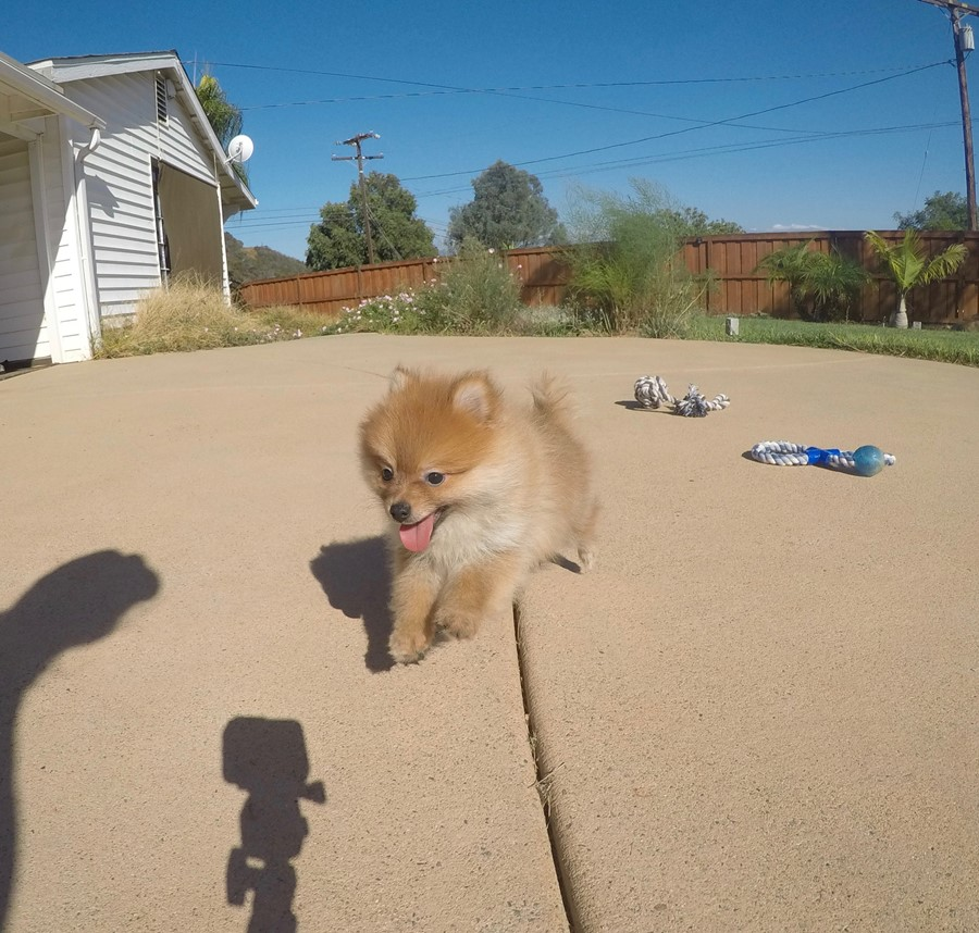 perfect male ACA Pomeranian puppy!! 5