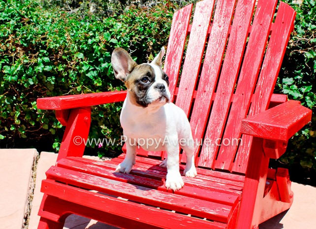 Rihanna is our Adorable French Bulldog Female Puppy