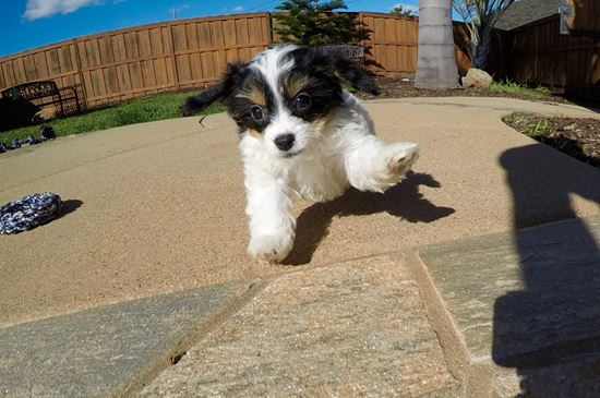 TINY male CavaChon puppy !! - 10 week old Cava Chon