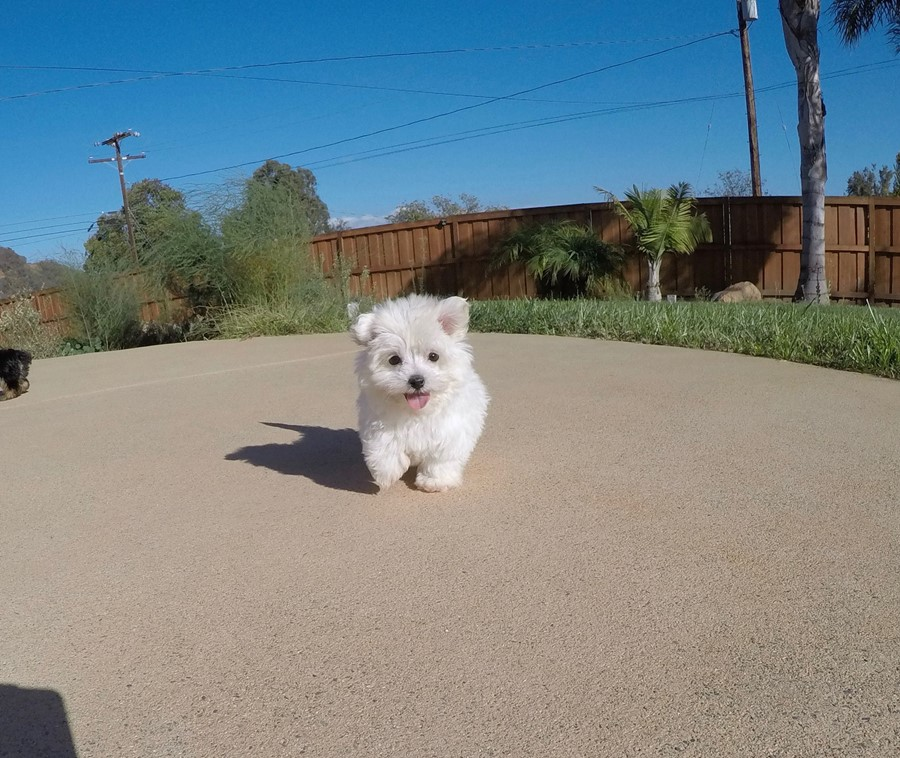 SUPER TINY MaltiPoo Puppy!! 6