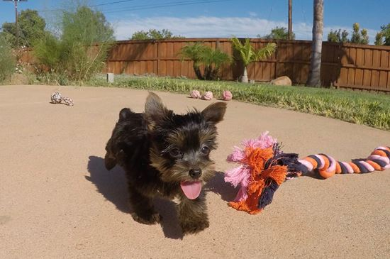 SUPER TINY female Yorkie puppy! - 10 week old Yorkshire Terrier