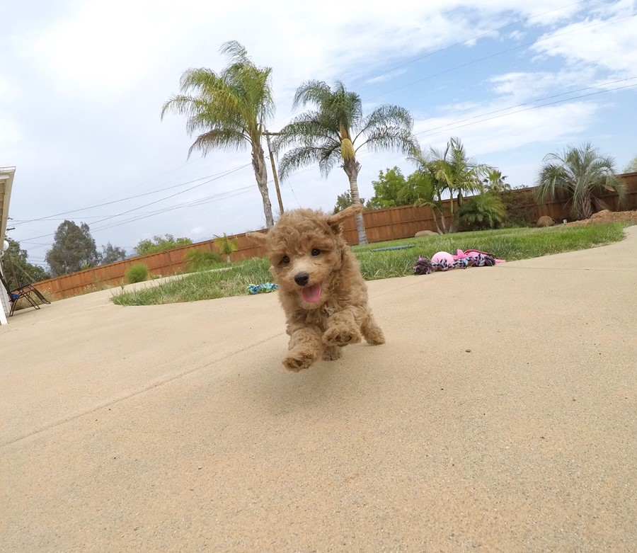 Adorable female CavaPoo puppy! 3