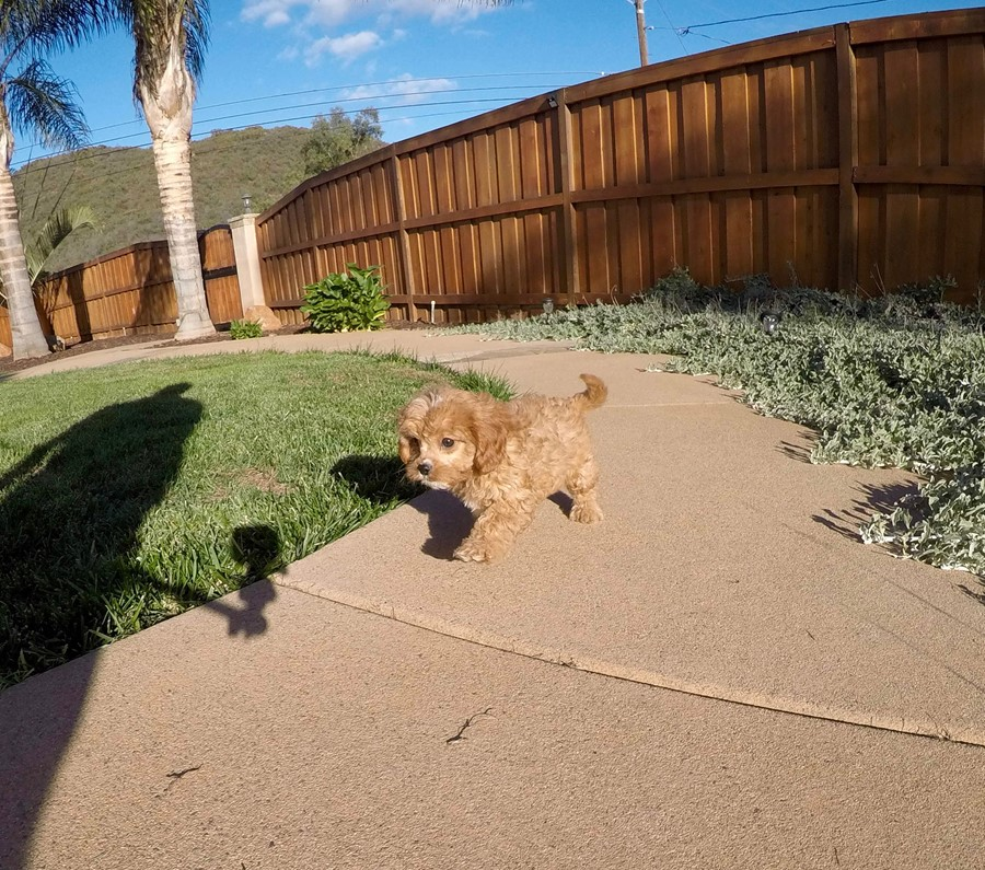 Male Cavapoo designer puppy !! 5