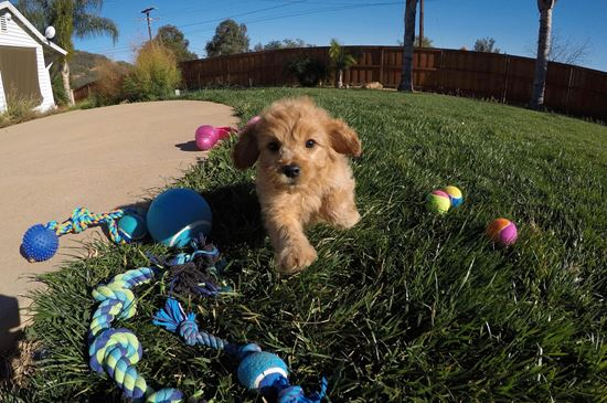 Stunning male Cavapoo puppy !! - 51 week old Cava Poo