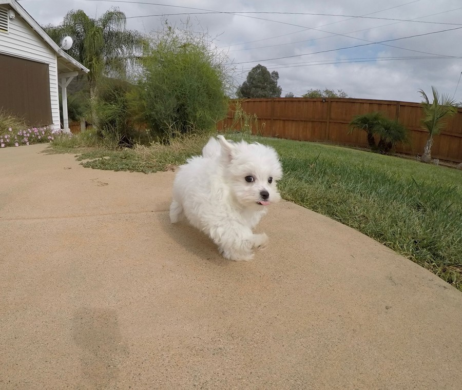 Super Cute ACA Maltese Puppy !! 7
