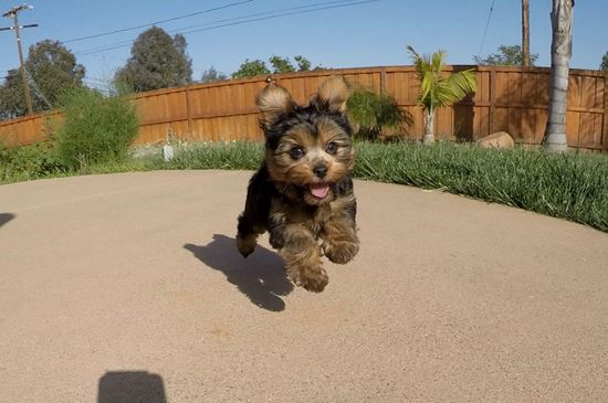 Adorable female IKC Yorkie puppy !! - 11 week old Yorkshire Terrier
