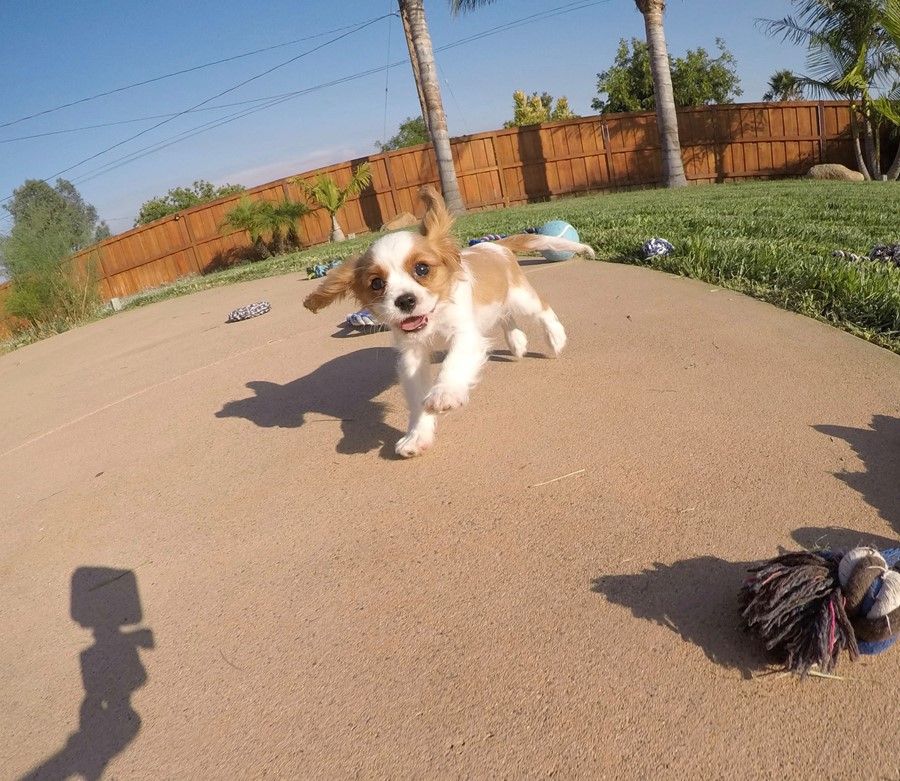 PERFECT male AKC Cavalier puppy! 12