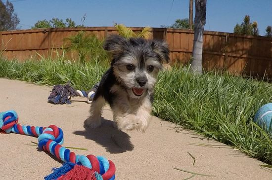 Adorable male Morkie puppy!! - 11 week old Morkie