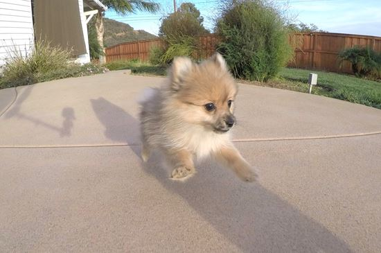 pomeranian san diego pomeranian puppies for sale in california pom pups for 7621