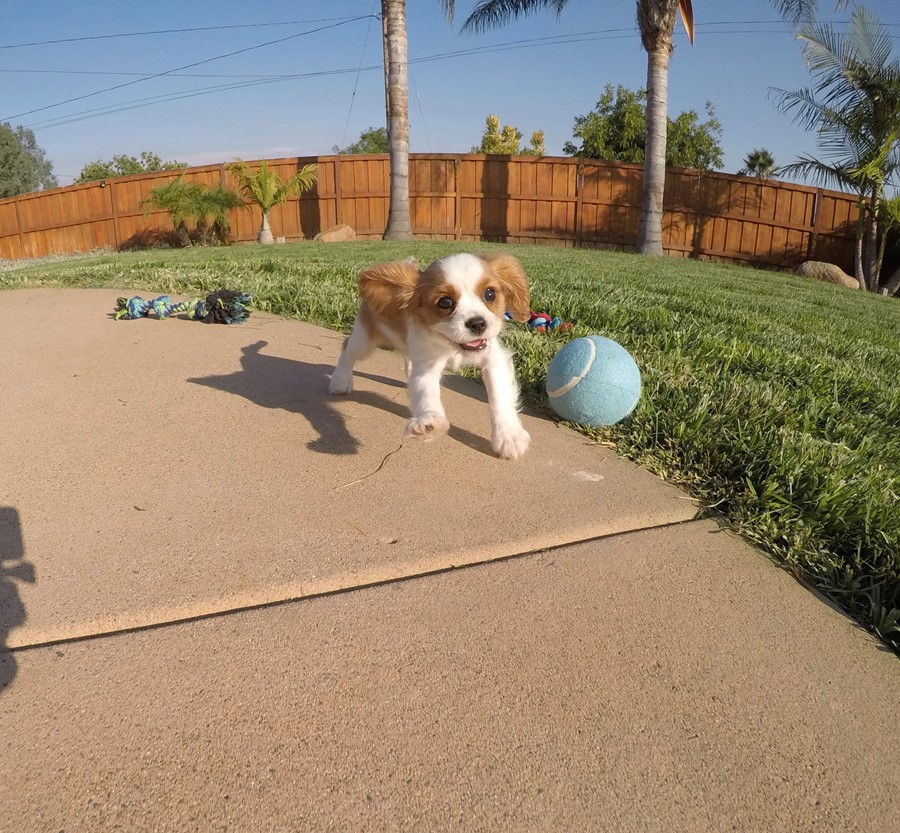 PERFECT male AKC Cavalier puppy! 5