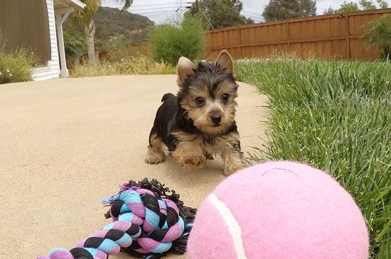 TINY Female AKC Yorkie  Puppy !! - 25 week old Yorkshire Terrier