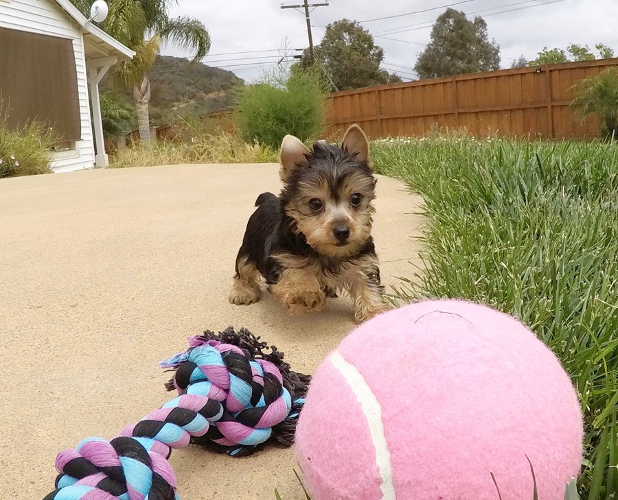 TINY Female AKC Yorkie  Puppy !! 1