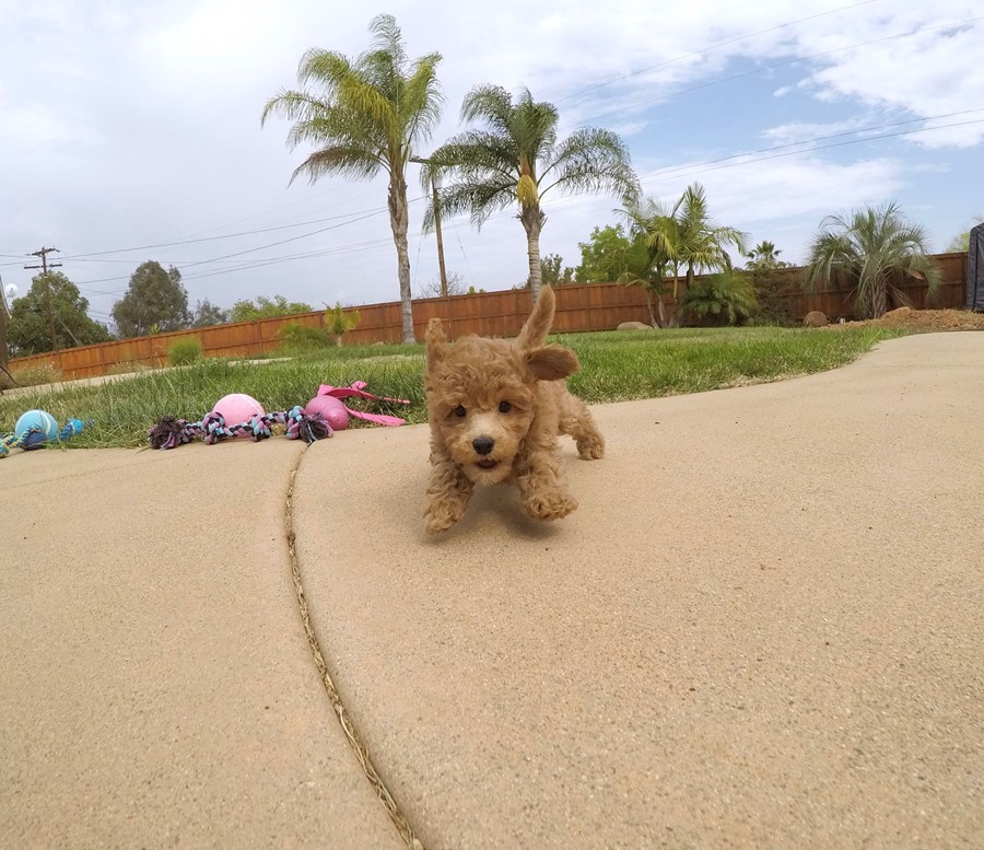 Adorable female CavaPoo puppy! 4