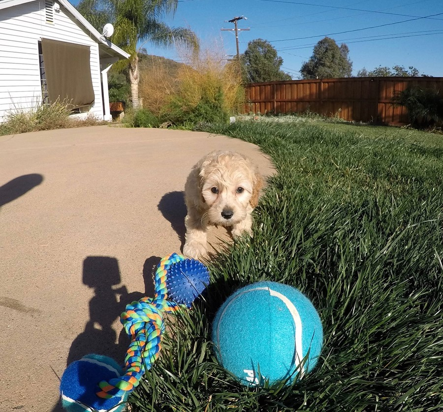 Male Mini Goldendoodle puppy !! 2