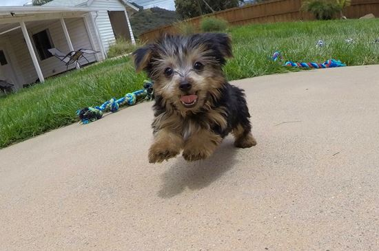 SUPER TINY ACA Yorkie puppy!!! - 12 week old Yorkshire Terrier
