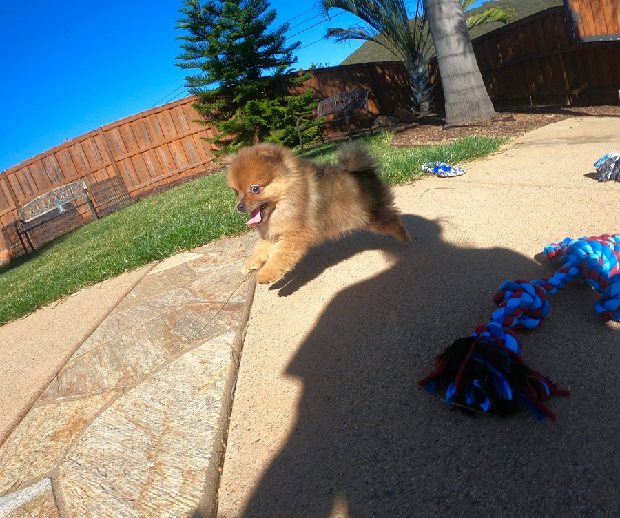 PERFECT male Pomeranian puppy! 5