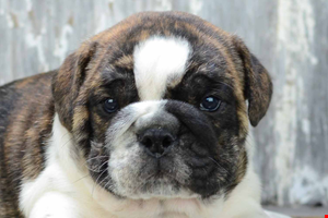 English Bulldog Puppies For Sale In California San Diego And