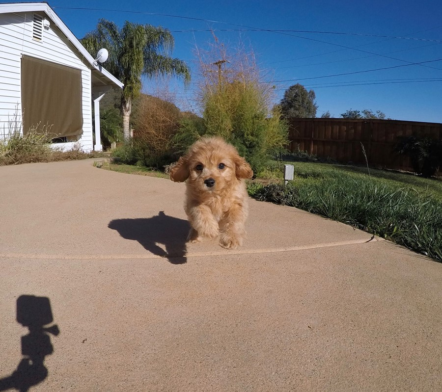 Stunning male Cavapoo puppy !! 5