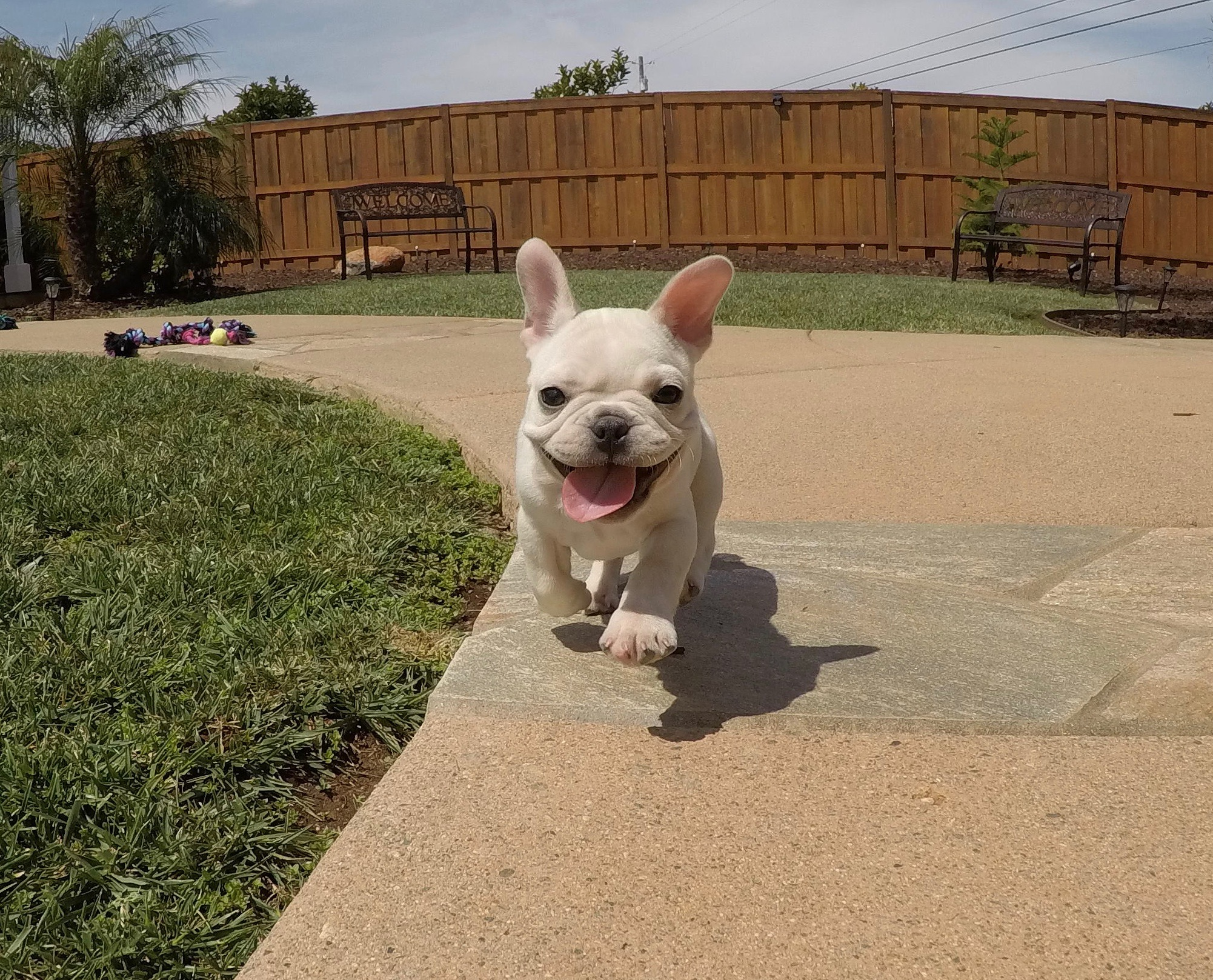 French bulldog for sale southern california