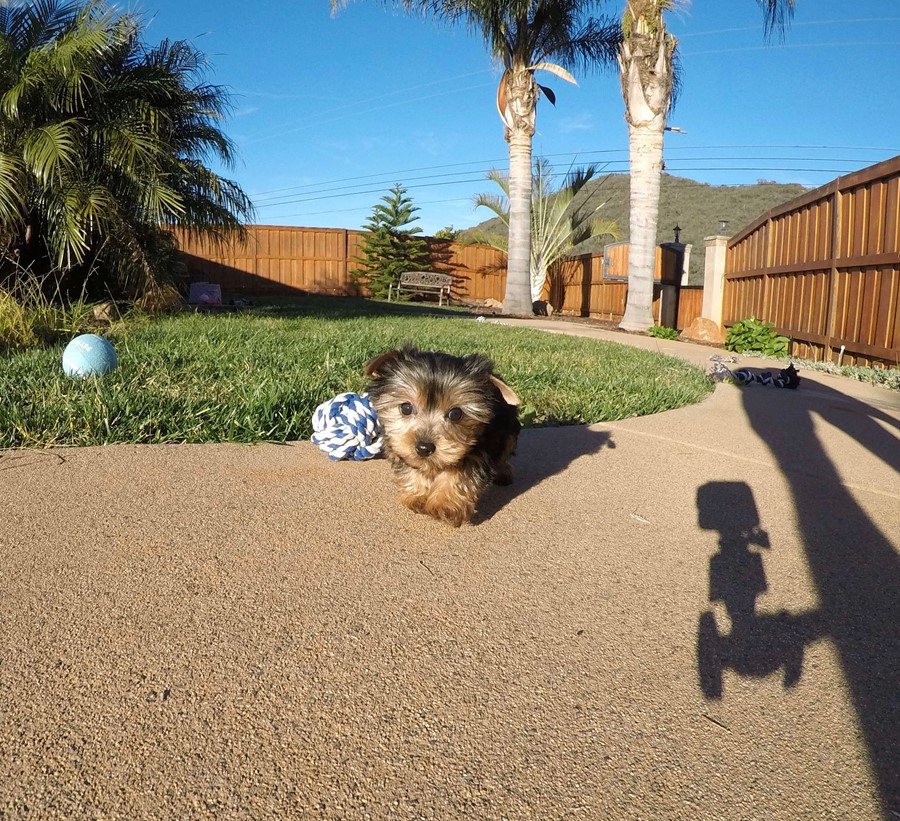 PERFECT male ACA Yorkie puppy!! 9