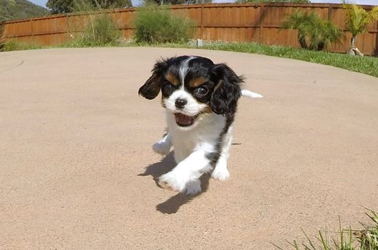 TINY female AKC Cavalier puppy! - 11 week old Cavalier King Charles Spaniel