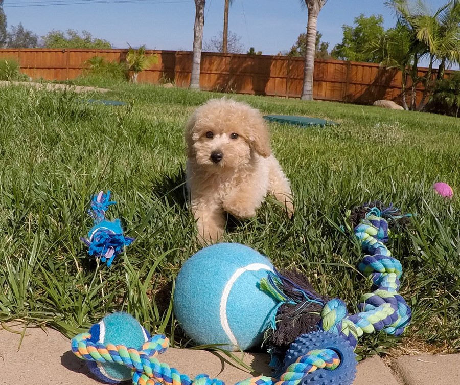 Super cute Male CavaPoo Puppy!! 5