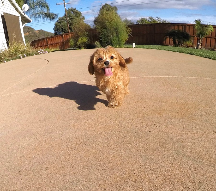Male Cavapoo designer puppy !! 12