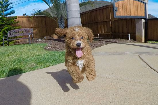 Adorable Male CavaPoo puppy!! - 11 week old Cava Poo
