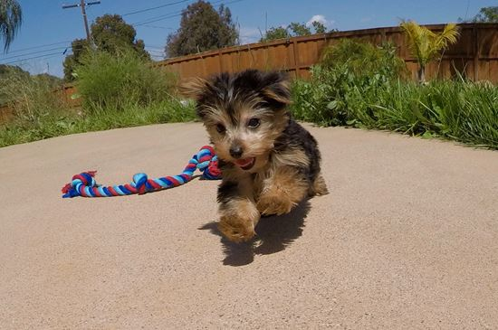 TINY male Yorkie puppy !! - 12 week old Yorkshire Terrier
