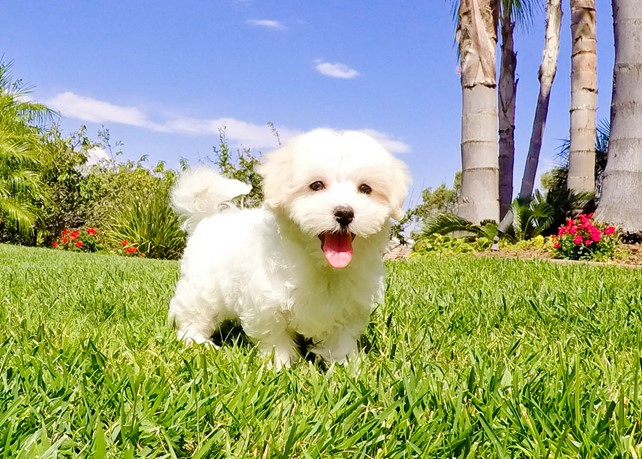 Mia is our Gorgeous MaltiPoo Hybrid Female Puppy