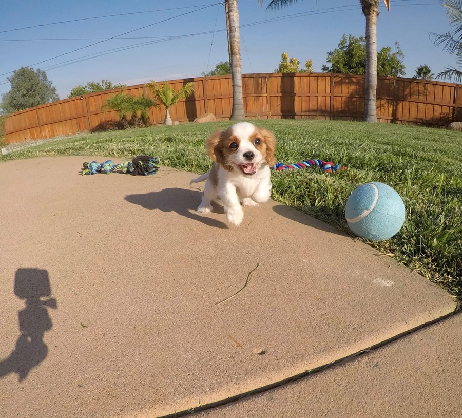 PERFECT male AKC Cavalier puppy! 4