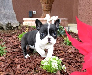 Frenchton Puppies For Sale In San Diego Orange County