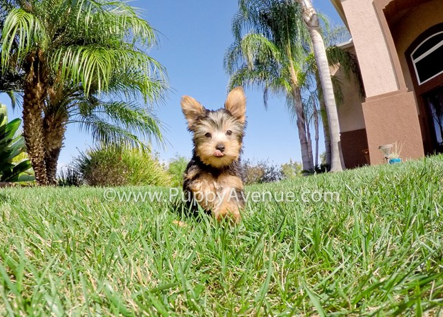 Reeses is our Super Handsome Yorkie Male Puppy