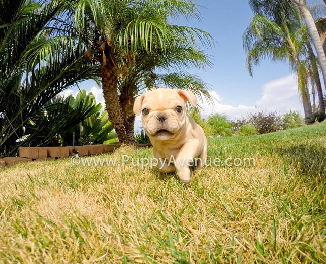 Violet is our adorable AKC French Bulldog Female Puppy
