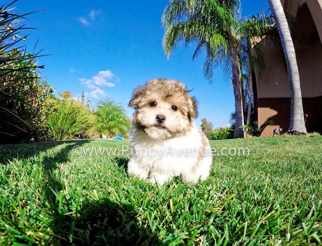 Daisy Is Our Stunning AKC Havanese Female Puppy