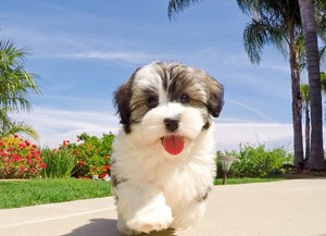 Havanese Puppies For Sale In California Havanese Pups For Sale In