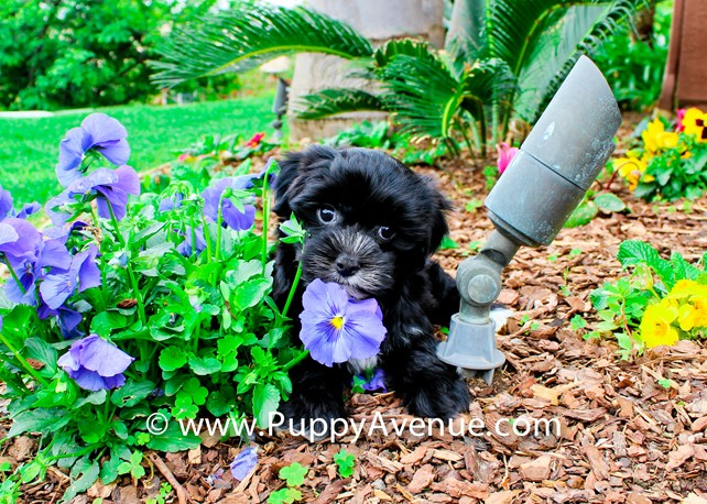 Brixton is our Super Nice Morkie Hybrid Female Puppy