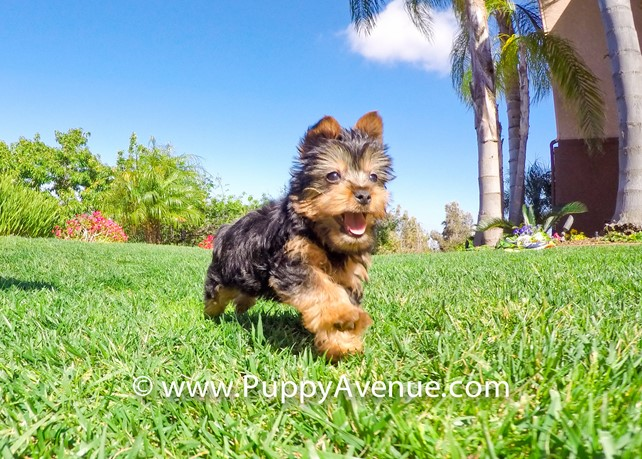 Knox is our Handsome ACA Yorkshire Terrier Male Puppy