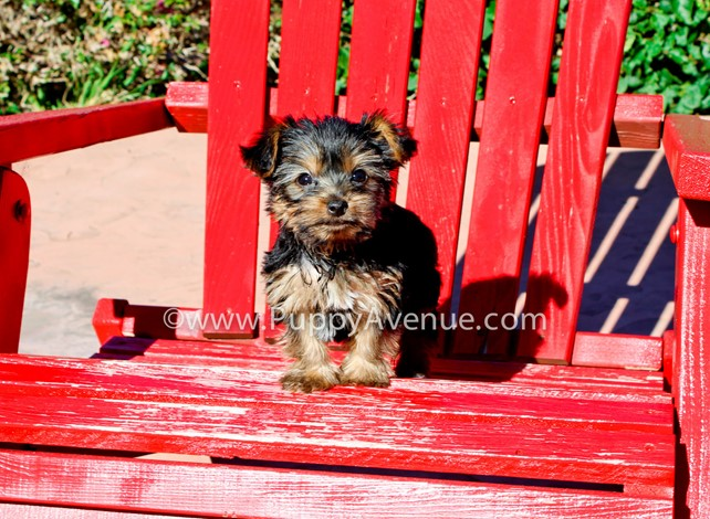 Fallon is our super cute ACA Yorkshire Terrier Female Puppy
